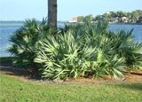 Saw Palmetto úžasná bylinka na zvětšení prsou